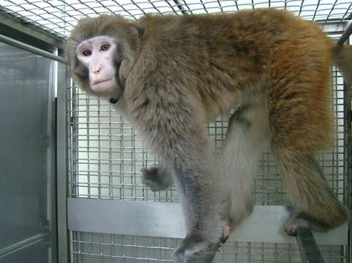 Monkey in SNU Xenotransplantation Research Center